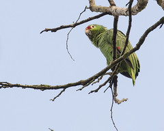 Red-lored Parrot (J.B. Churchill) Tags: birds comandanciadesarapiquíroad costarica heredia parrotsparakeets places rlpa redloredparrot taxonomy cr laselva