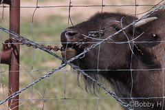 May 29, 2017 - A young Bison chews on a chain. (Bobby H)