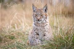 Lynx kitten (Anita Price Foto) Tags: lynxkitten lynxbaby lynx lynxcub lynxlynx animal cat kitten wildlife wildcat norway langedragnaturepark langedragwildlifepark cub furry nature explore ngc