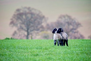 'I'll Go If Ewe Go' - The Twins