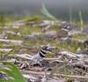 Killdeer-8215 (chrisclark39) Tags: killdeer turtlepond spring