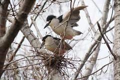 Tommy Thompson Park (mtnbiker404) Tags: blackcrowned night heron tommy thompson park leslie spit