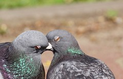 Pigeon kiss....:-) (Jurek.P) Tags: pigeon kiss birds gołąb ptaki kępapotocka warsaw warszawa poland polska jurekp sonya77