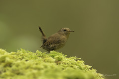 Pilgrimage to Tofino- Pacific Wren (Chantal Jacques Photography) Tags: pilgrimagetotofino pacificwren wildandfree bokeh