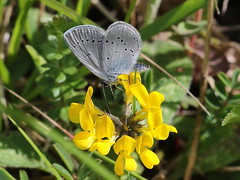 Small Blue (Cupido Minimus) - KWT Darland Banks 107 (mikehook51) Tags: kwtdarlandbanks smallblue cupidominimus avian butterfly bbcspringwatch canon common chalkland canoneos7dmk11 digital england fauna flora grassland kent kentwildlifetrust kwt lepidoptera may nature naturereserves reserve sunshine spring uk underwing butterflies wildlife winged wild