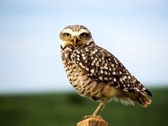 Wisdom. (fsavian) Tags: pássaro bird wisdom sabedoria coruja owl nature natureza eyes olhos