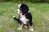 Loon Bear (BenWestPhotography) Tags: canon canon40d 40d tamron tamron1750f28 tamronspaf1750mmf28xrdiiildasphericalif 1750 dxo dxoopticspro10 loonbear dog puppy bernesemountaindog vt vermont