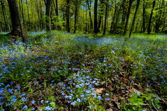 Carpet of Blue (Tom Mortenson) Tags: forgetmenots forestfloor doorcounty doorcountywisconsin midwest hdr photomatix tonemapping geotagged wisconsin fishcreekwisconsin usa canon canoneos 1740l wildflowers blueflowers woods america scenery scenic landscape nature peninsulastatepark statepark wisconsinstatepark floral woodland spring springtime digital northamerica myosotissylvatica perennialplant nativewildflowers flowers