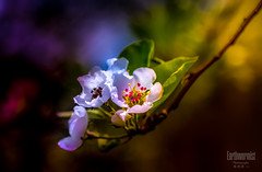 Pear flower (G.LAI) Tags: pear 梨花 white canon 5d mark3 photo poetic cloud purple pink beauty 勿忘我 nature spring macro red ed explore 海棠 春海棠 红色 color painting classicaldigital art images poem poet romance flickr plant