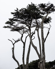 Cypress Trees, Sutro Baths, San Francisco (Sharon Mollerus) Tags: landsend sutrobaths sutropark pointlobos sutrodistrict sanfrancisco california unitedstates us cfpti17