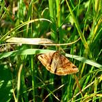 Burnet Companion Euclidia glyphica thumbnail