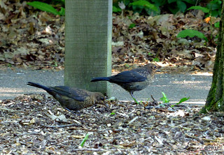 Sibling fledgelings  Blackbird  Turdus merula