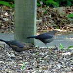 Sibling fledgelings  Blackbird  Turdus merula thumbnail