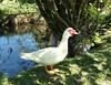 Handsome male duck (hardworkinghippy : La Ferme de Sourrou) Tags: lesmaresenpermaculture bassins ponds permaculture