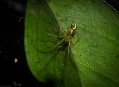 Laetesia raveni (dustaway) Tags: arthropoda arachnida araneae araneomorphae linyphiidae laetesia laetesiaraveni australianspiders rprr rotarypark rainforest lismore nsw australia