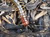 Cormocephalus sp. (Jackson Nugent) Tags: scolopendromorpha cormocephalus centipede bug animal myriapod arthropod