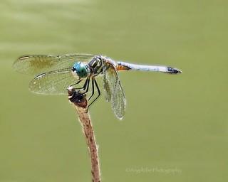 Dragonfly's Balancing Act