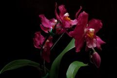 Odontoglossum Masdevallia (srorquídeas) Tags: odontoglossum masdevallia planta ornamental orquídea rosa