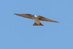 DSC_0389.jpg (ldjaffe) Tags: violetgreenswallow ucsantacruz greatmeadow