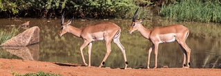 Two impalas wandering by a lake in Pilanesberg, South Africa