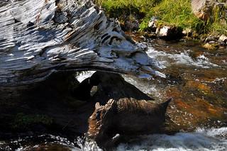 Stump in Hat Creek