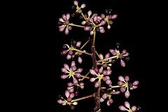 Schefflera bractescens (andreas lambrianides) Tags: schefflerabractescens araliaceae scheffleraversteegii pascoeumbrella australianflora australiannativeplants australianrainforests australianrainforestplants schefflera qld arfp cyrfp tropicalarf uplandarf lowlandarf arfepiphyte arflithophyte australianrainforesttrees qrfp australianrainforestfruitsandseeds australianrainforestseeds australianrainforestfruits arffs nearthreatened purplearffs buds