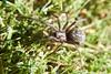 Arac attack (grundi1) Tags: sony alpha 68 ilca68 a68 sigma1770f2845dcmacro spinne spider nature grün green sigma 1770 f2845
