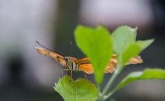Peekaboo / Kiekeboe (Stef32Photo) Tags: oranjerie orange oranje butterfly vlinder peekaboo kiekeboe denhelder noordholland northholland nikon d5300 sigma18200mm sigma daytime daylight overdag daglicht