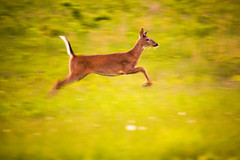 Prancing Deer (brendon_curtis) Tags: canon 5dmkiii 5d mkiii mk iii eos sigma 150600mm 150600 sport super telephoto 600mm deer osprey animal nature natural animals sky sunset low light motion blur flagging flagged flag crop cropped lake pond river ocean stream field night white tail whitetail