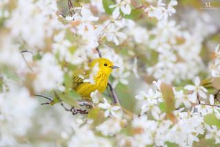 Paruline jaune - Yellow warbler - Setophaga petechia