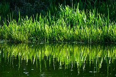 🎶Green grow the rushes-o!🎶 (violetchicken977) Tags: gorgeousgreenthursday green rushes reflections