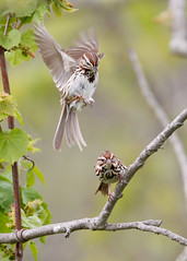 _53F6954 Song Sparrow (~ Michaela Sagatova ~) Tags: birdphotography canonphotography michaelasagatova songsparrow