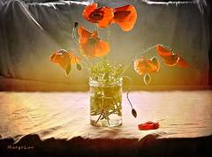 Spring Still Life ... (MargoLuc) Tags: poppies soft light window backlight red flowers spring season table white tablecloth vintage mood stilllife texture skeletalmess