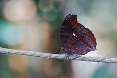 On the rope (Darea62) Tags: rope butterfly insect nature bokeh animal wings