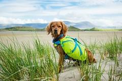 Out exploring some secret corners of Kerry! • • • • • #campingwithdogs #hikingwithdogs #dogsonadventures #dogsthathike #adventuredog #thestatelyhound #houndandlife #backcountrypaws #doglove #hikingdogsofinstagram #excellent_dogs #adventureswithdogs #topdo (watson_the_adventure_dog) Tags: out exploring some secret corners kerry • campingwithdogs hikingwithdogs dogsonadventures dogsthathike adventuredog thestatelyhound houndandlife backcountrypaws doglove hikingdogsofinstagram excellentdogs adventureswithdogs topdogphoto heelergram hikingdog animaladdicts traildog irishdaily bestwoof hikingcollective pawsitiveliving wanderireland instaireland inspireland irishpassion irelandgram campingculture hikingtheglobe