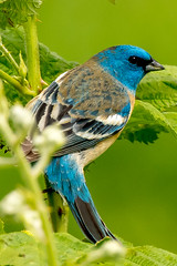Lazuli Bunting (Beauty.Magic.Inspiration) Tags: songbirds oregon portland migratorybirds spring lazulibunting wildlifephotography