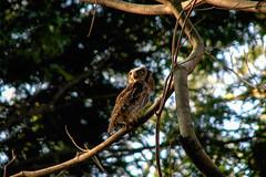 Sabedoria (juliana.lucas) Tags: coruja owl park parque bird natureza nature brasil brazil