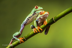 Red eye tree frogs - Excuse me D50_8150.jpg (Mobile Lynn) Tags: amphibian frog nature redeyetreefrog captive agalychniscallidryas fauna wildlife bournemouth england unitedkingdom gb coth specanimal coth5 ngc sunrays5 npc