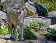 - I'm not a dog, I'm a very cute wolf :-) (L.Lahtinen (nature photography)) Tags: wolf greywolf sweden wildlife nature nikond3200 nikkor55300mm spring luonto kevät susi harmaasusi cute fauna larissadatsha varg wild naturephotography nikkor