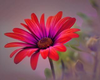 Garden Daisy__Explored #157