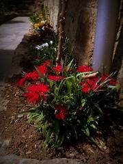flower (Anna Gelashvili) Tags: flower цветок flowers сад цветы цветочки красныецветочки plant soil растение почва ყვავილი ყვავილები