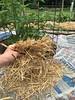 Weeds Away with Straw (OakleyOriginals) Tags: mulch newspaper weeds weedcontrol tomatoes gardening straw