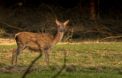Red Deer Hind (Leen Goudappel) Tags: red deer hind hindes edelhert veluwe nederland netherlands europe world earth spring canon sigma 150600mm photography wildlife wild stunning nice beautiful thisislife nature natuur