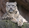 He recognized me (Fisherman01) Tags: zoobasel schneeleopard snowleopard liegend mekong 1tier