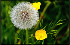 Dandelion only needs a smooth breeze, to carry new life into the world of flowers. (ahmBerlin) Tags: löwenzahn pusteblume dandelion natur nature gelb yellow taraxacum