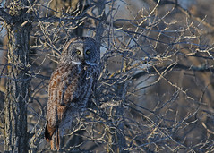 Great Gray Owl...#7 (Guy Lichter Photography - 3.4M views Thank you) Tags: owlgreatgray canon 5d3 canada manitoba beaudrypark wildlife animal animals mammal mammals owl owls greatgrayowl