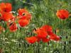 Maki Mohnblumen (arjuna_zbycho) Tags: mak maki makpolny czerwonemaki kwiatypolne mohn mohnblumen coquelicots pavots popyflower popy klatschmohn papaverrhoeas mohnblume klatschrose cornpoppy cornrose fieldpoppy flanderspoppy redpoppy redweed közönségespipacs vetésipipacs papaverocomune rosolaccio gatunekleczniczy heilpflanze hausmittel kwiat blume flower fleur popies fleurs natur flora
