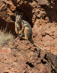 Yellow Footed Rock Wallaby (shashin62) Tags: australia southaustralia outback ranges flindersranges rawnsleypark arkaroola wallaby yellowfootedrockwallaby nature wildlife fauna