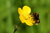 Bumble bee on buttercup (david.england18) Tags: bumblebee buttercup smallbirds tits localpark queensparkheywood canon7d canonef300mmf4lisusm