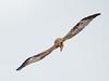 _6060388 (Brian Wadie Photographer) Tags: gusty 40mph winds inverting black kite baldeagle blackkites hooded kestrel milkyowl sacredibisyellowbilledkite secretarybird vultures vutlures